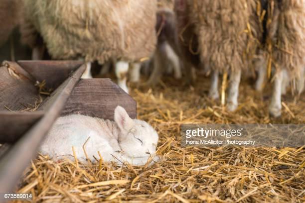 Sleepy Little Lamb In Sheep Pen
