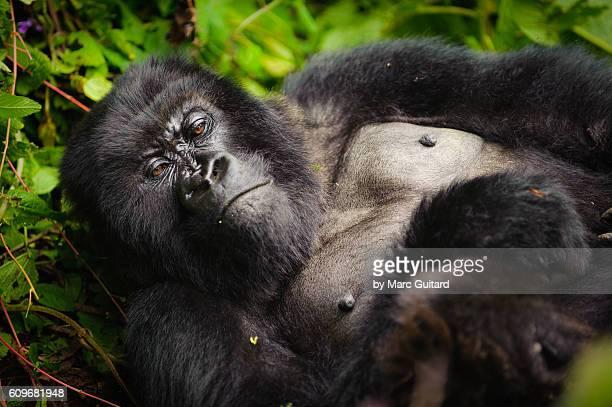 A sleepy mountain gorilla (Gorilla beringei beringei) lounging in the underbrush in Volcanoes National Park, Rwanda.