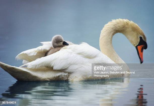 sleepy mute swan cygnet takes a ride on mom's back - swan stock pictures, royalty-free photos & images