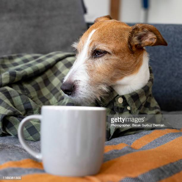 a sleepy parson terrier dog wearing a checked shirt sitting on a sofa with a cup of coffee - monday stock pictures, royalty-free photos & images