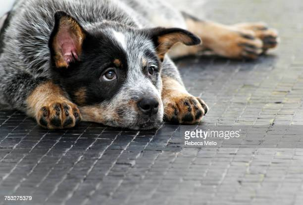 sleepy pets - australian cattle dog stock pictures, royalty-free photos & images