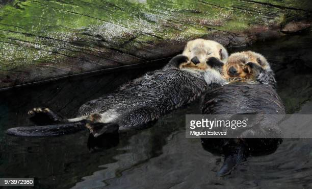 sleepy - sea otter stock photos and pictures