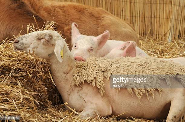 sleepy pig lying on sheep