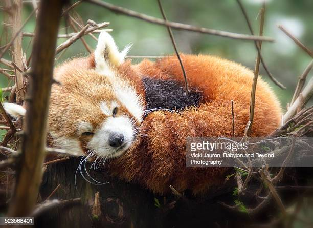 sleepy red panda - red panda stock pictures, royalty-free photos & images