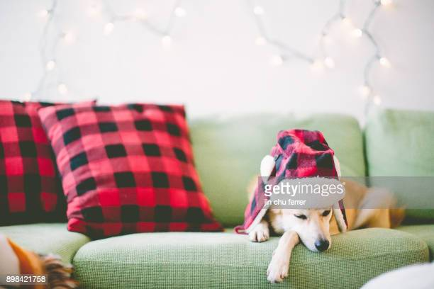 sleepy roscoe. - shiba inu winter stock pictures, royalty-free photos & images