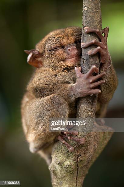 sleepy tarsier - tarsier stock photos and pictures