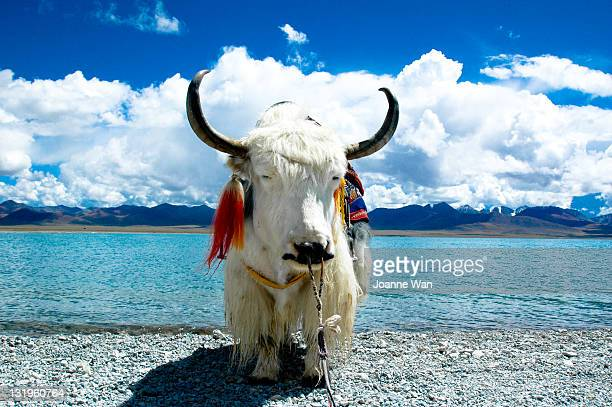 sleepy yak in tibet - yak stock pictures, royalty-free photos & images
