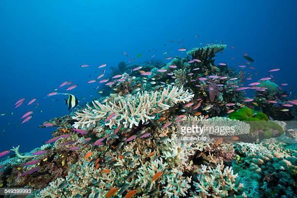 Slender Basslets in Coral Reef Luzonichthys whitleyi Namena Marine Reserve Fiji