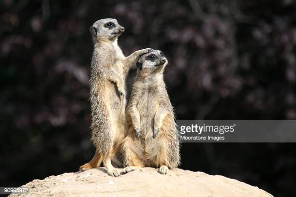 slender tailed meerkats - meerkat stock pictures, royalty-free photos & images