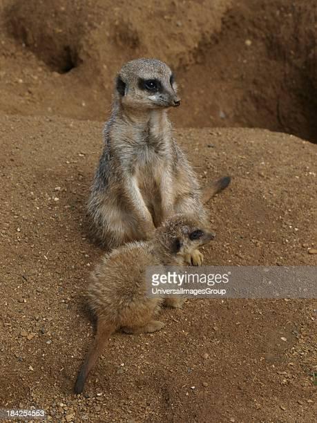 SlenderTailed Meerkat Suricata suricata UK