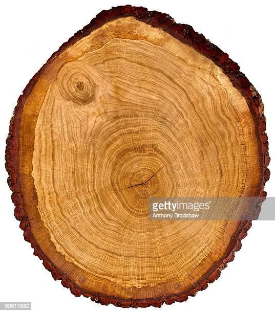 Slice through a figured oak tree