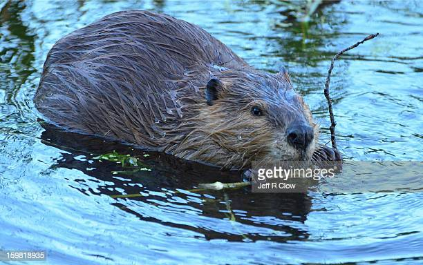 slick beaver - beaver stock pictures, royalty-free photos & images