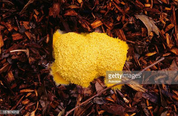 Slime mould often called Dog's vomit slime mould not a fungus but an amoebalike organism that engulfs bacteria and other prey with its pseudopods...