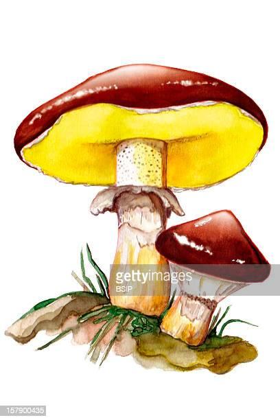 Slippery Jack Slippery Jack Suillus Luteus Slippery Jack Suillacees Boletales Basidiomycetes Mushroom