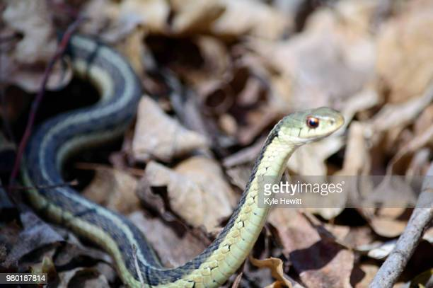 slither - garter snake stock pictures, royalty-free photos & images