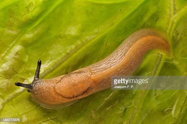 Slithering slug on leaf of fresh lettuce
