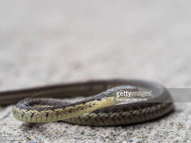 slithering snake - garter snake stock pictures, royalty-free photos & images