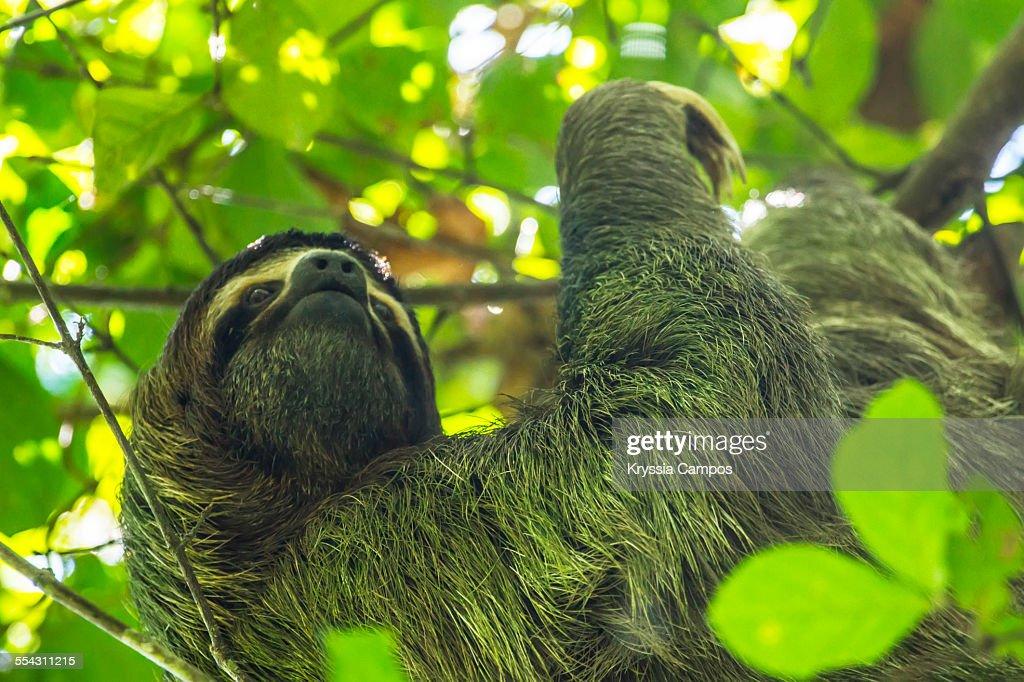 Sloth At Manuel Antonio National Park Costa Rica Stock Photo Getty