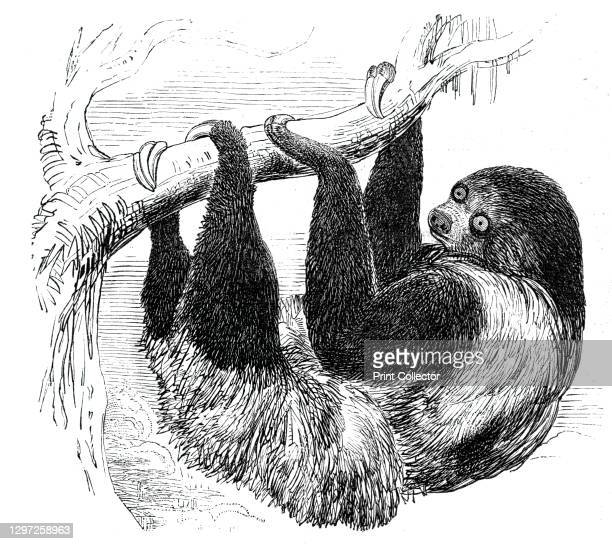 """Sloth at the Zoological Gardens, Regent's Park, 1844. From """"Illustrated London News"""" Vol I. Artist Unknown."""