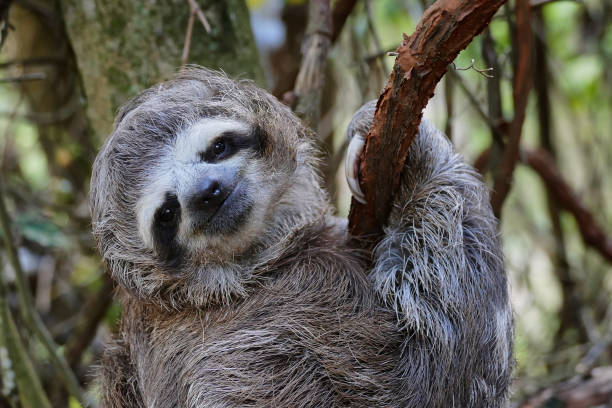 sloth baby hanging from a tree branch in natural environment - sloth animal stock pictures, royalty-free photos & images