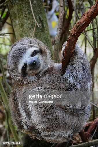 Sloth Baby Hanging From A Tree Branch In Natural ...