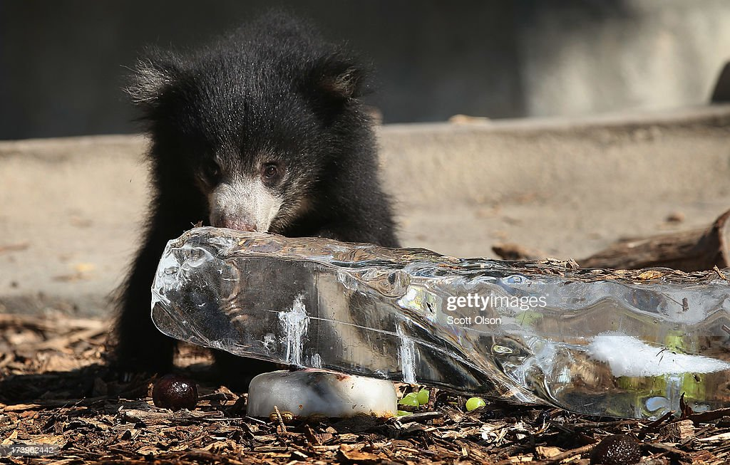 A sloth bear cub gets a treat of fruit served on a block of ice to help him stay cool in his enclosure at Brookfield Zoo on July 18, 2013 in Brookfield, Illinois. A heat wave continues to grip much of the country today with temperatures expected to top 90 degrees in 47 states.