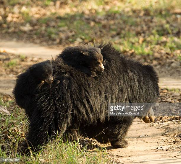 sloth bear mother carrying cubs on her back, satpura national park, india - madhya pradesh stock pictures, royalty-free photos & images