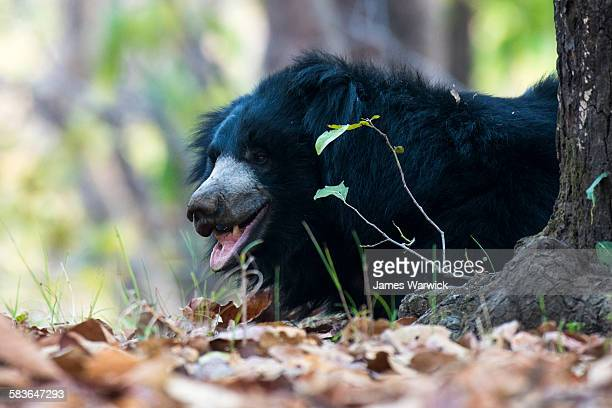 sloth bear resting in sal forest - bandhavgarh national park stock pictures, royalty-free photos & images