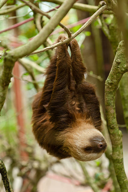 sloth - sloth animal stock pictures, royalty-free photos & images