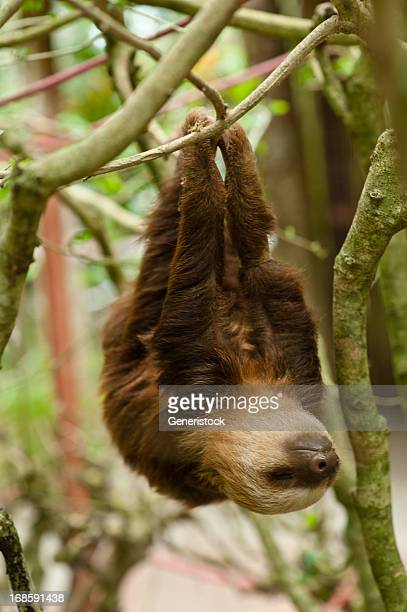 sloth - laziness stock pictures, royalty-free photos & images