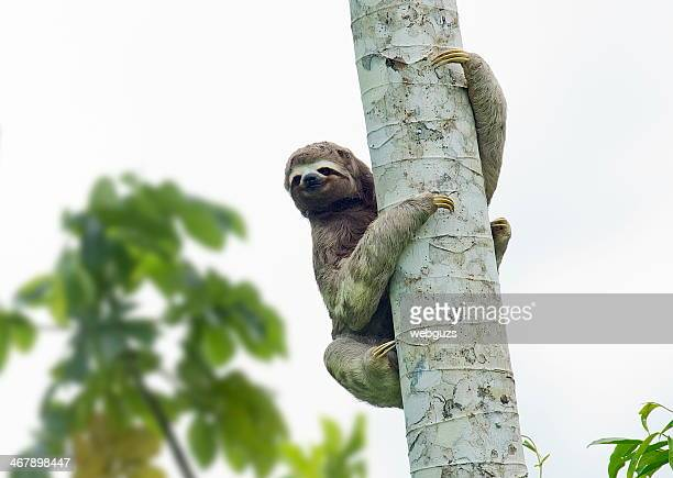 three toed sloth in a tree