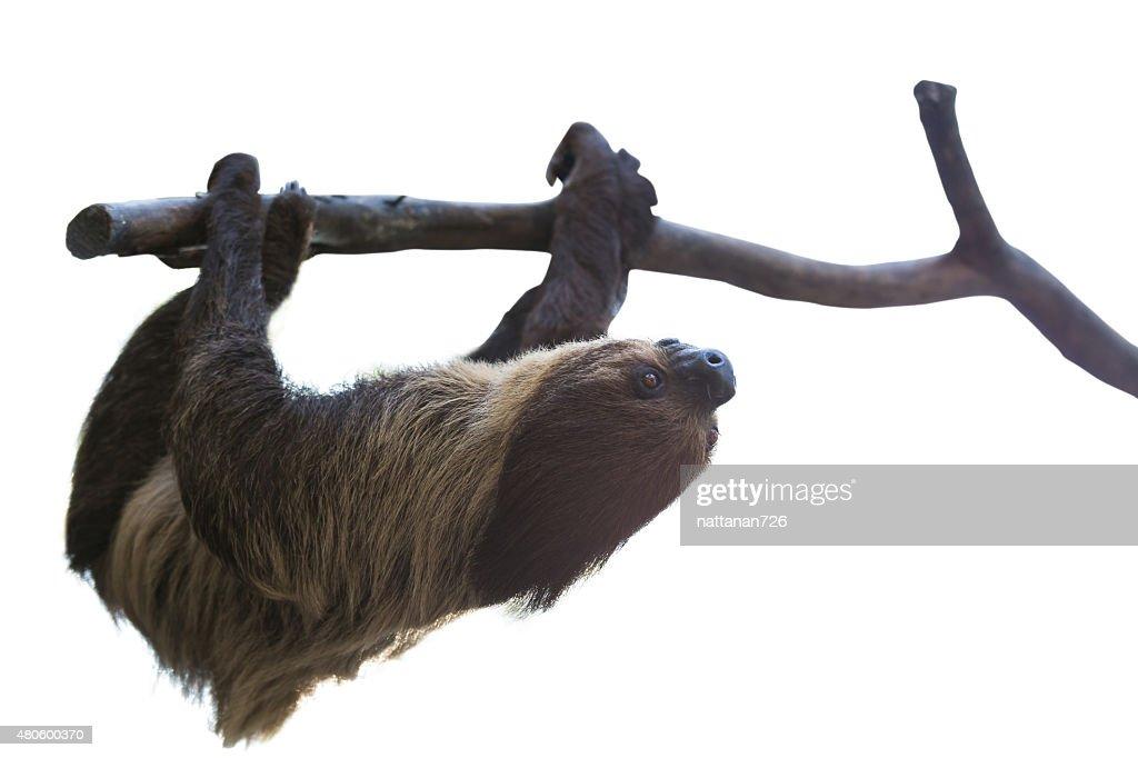 sloth : Stock Photo