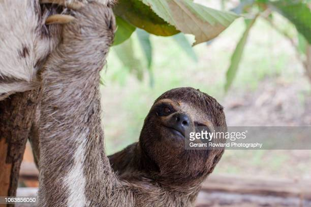 sloth portrait, iquitos peru - laziness stock pictures, royalty-free photos & images