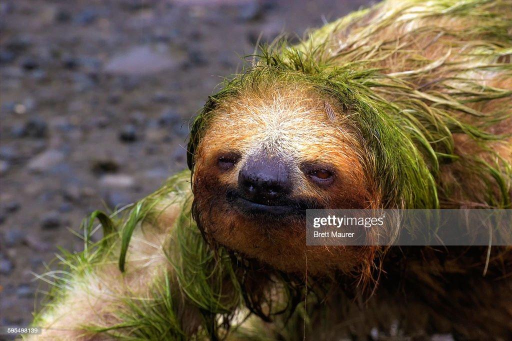Sloth Portrait : Stock Photo