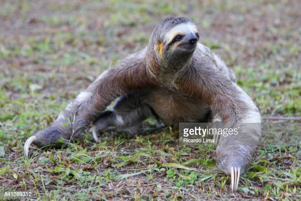 sloths - lima animal stock pictures, royalty-free photos & images
