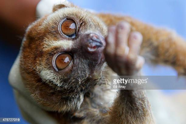 A slow loris is treated by vets at a sanctuary for the endangered animals which have been confiscated from individuals or markets which illegally...