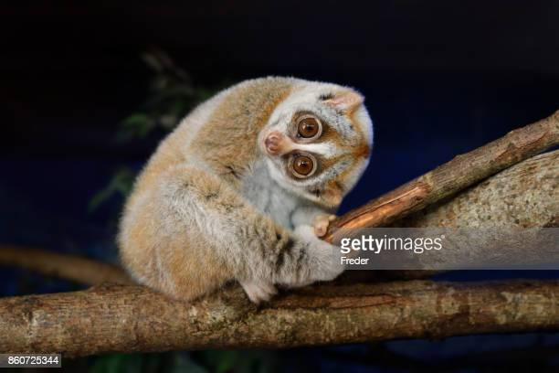 slow loris - primate stock pictures, royalty-free photos & images