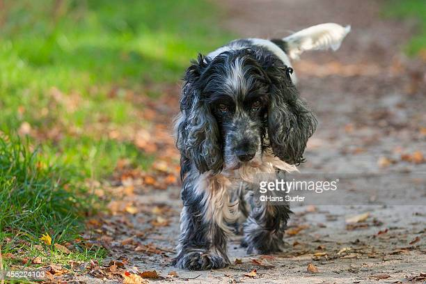 A slow walking English Cocker Spaniel