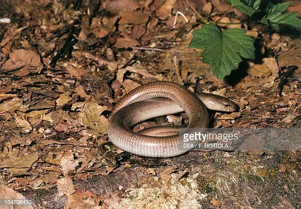 Slow worm Anguidae