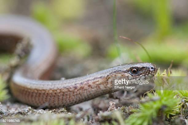 slow worm -anguis fragilis-, emsland, lower saxony, germany - orvet photos et images de collection