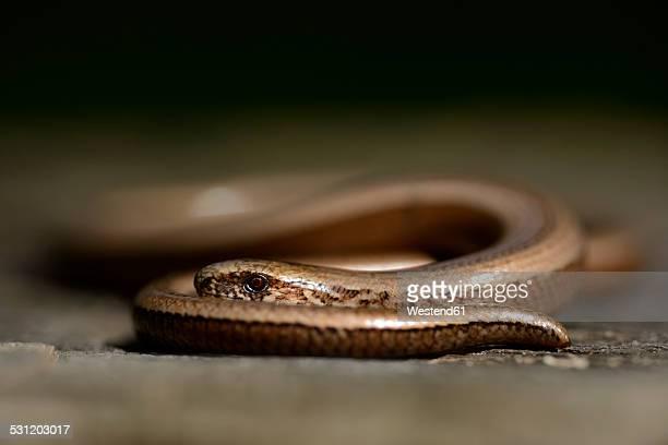 Slow worm, Anguis fragilis
