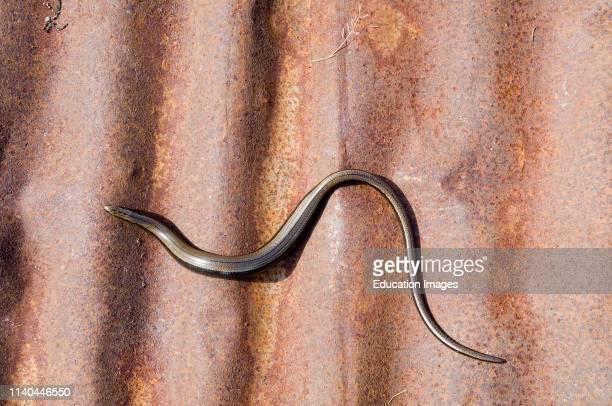 Slow Worm, Anguis fragilis, sunning itself on corrugated iron, Dorset.