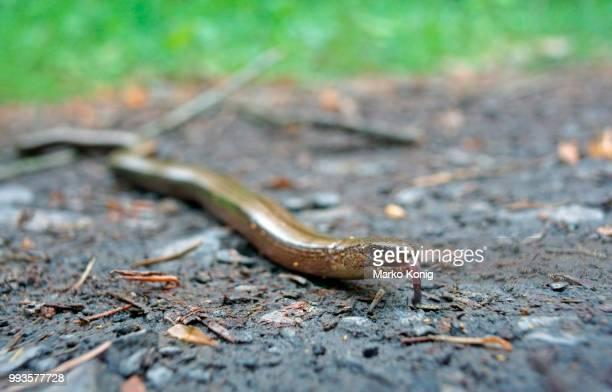 Slow Worm (Anguis fragilis), Germany