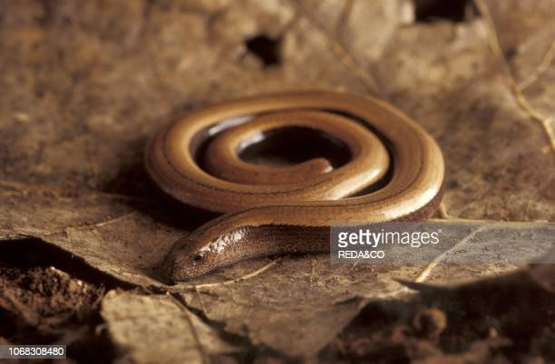Slow worm, Italy.