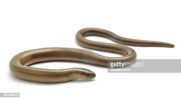 Slow Worm low angle