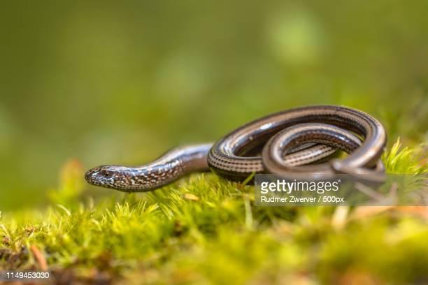 slow worm on moss - orvet photos et images de collection