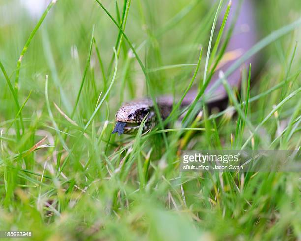 slow worm - s0ulsurfing stock pictures, royalty-free photos & images