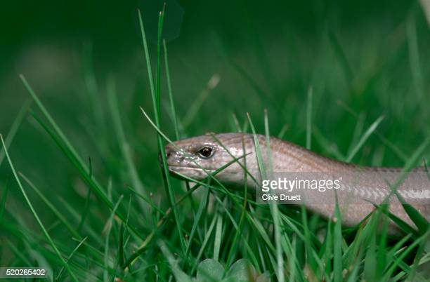 a slow worm - orvet photos et images de collection