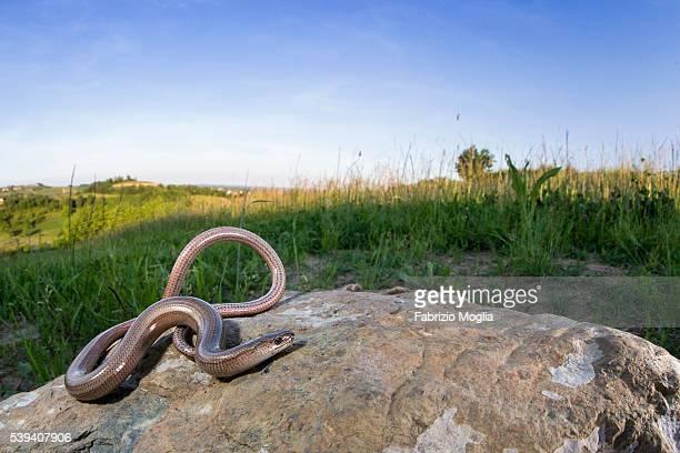 slow worm - orvet photos et images de collection