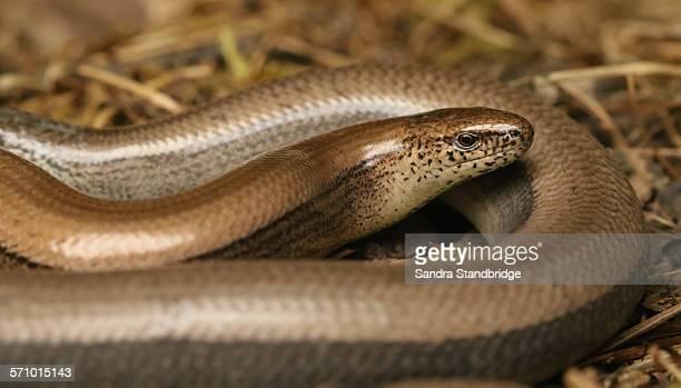 slow worm. ( anguis fragilis.) - orvet photos et images de collection